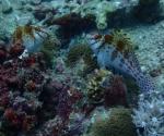 diving in Puerto Galera Philippines (11)