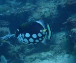 diving in Puerto Galera Philippines (2)