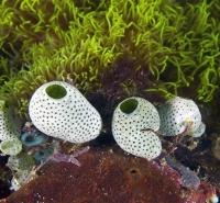 Ascidians Puerto Galera, Philippines IMG_5511