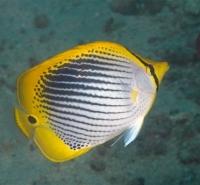 Chaetodon ocellicaudus Spot-tail butterflyfish Puerto galera, Philippines IMG_7143