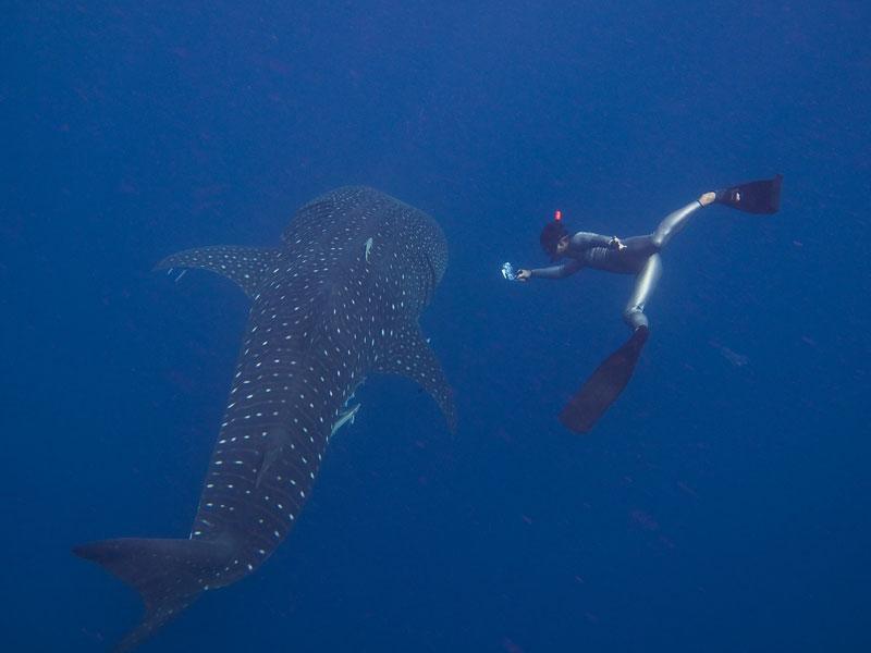whale shark diving puerto galera