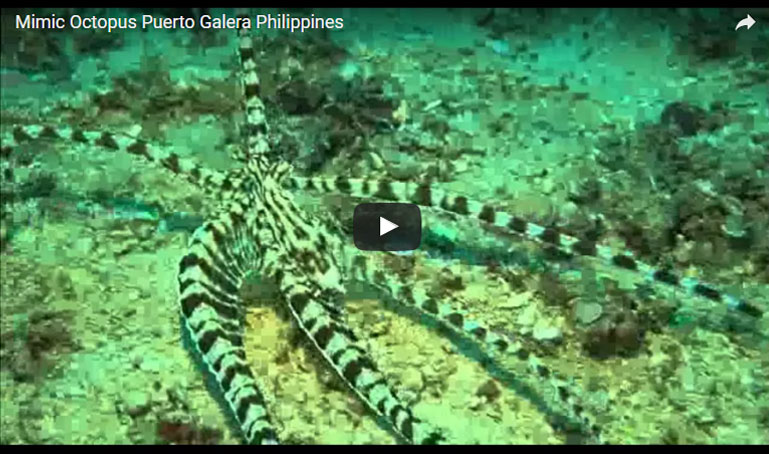 mimic octopus video puerto galera philippines